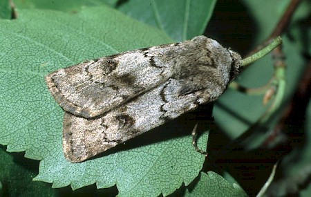 Light Feathered Rustic Agrotis cinerea