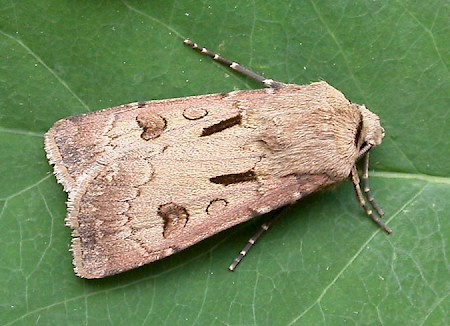 Heart & Dart Agrotis exclamationis