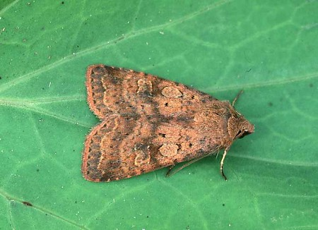 Barred Chestnut Diarsia dahlii