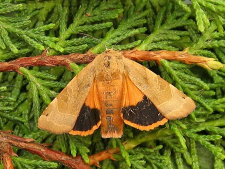 Broad-bordered Yellow Underwing Noctua fimbriata