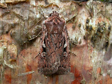 Heath Rustic Xestia agathina