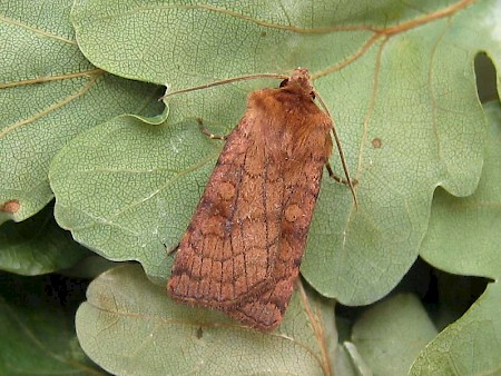 Six-striped Rustic Xestia sexstrigata