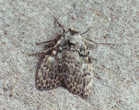 Small Black Arches Meganola strigula