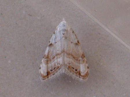 Jersey Black Arches Nola chlamitulalis