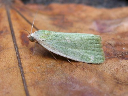 Cream-bordered Green Pea Earias clorana