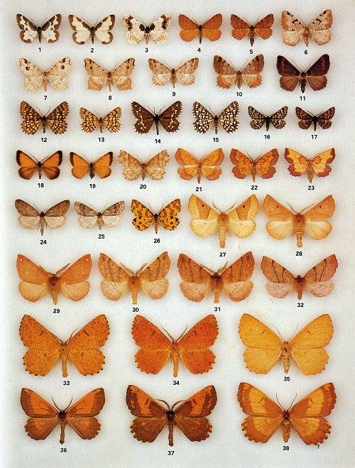 The Colour Identification Guide to Moths of the British Isles - UKMoths review - photo#23