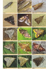 British Moths (Manley) example of plate