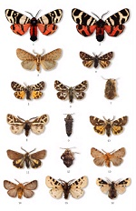 Moths of Europe Vol 1 example plate