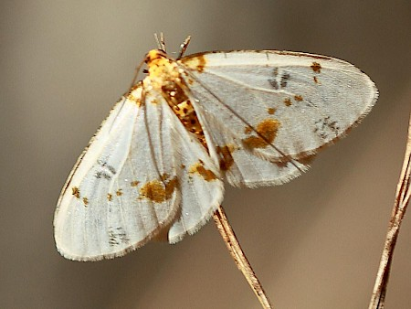 Light Magpie Abraxas pantaria