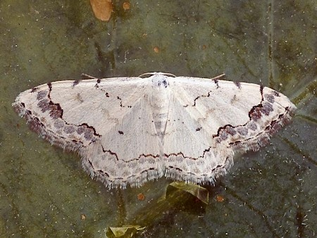Middle Lace Border Scopula decorata