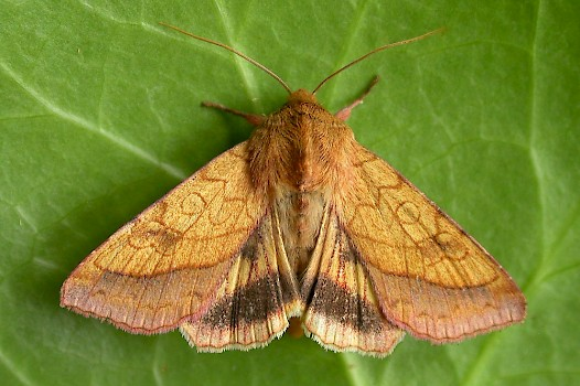 Ukmoths Guide To The Moths Of Great Britain And Ireland