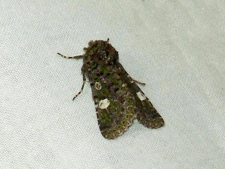 Green-brindled Dot Valeria oleagina