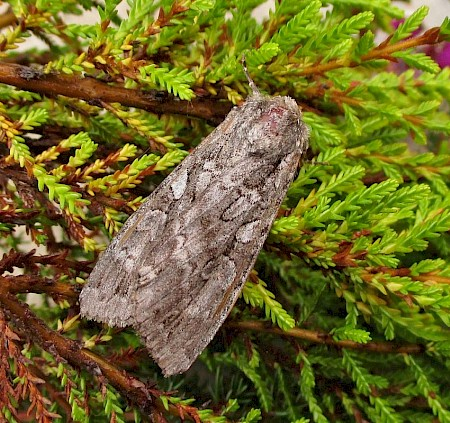 Great Brocade Eurois occulta