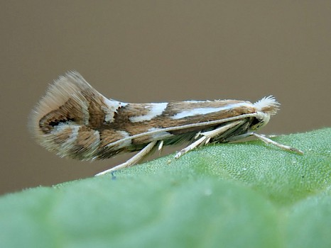 UKMoths | Guide to the moths of Great Britain and Ireland