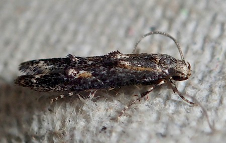 Apple Pith Moth Blastodacna atra
