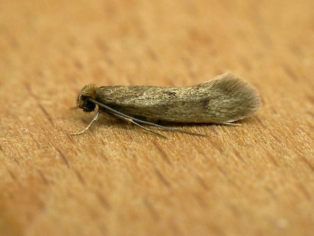 Case-bearing Clothes Moth Tinea pellionella