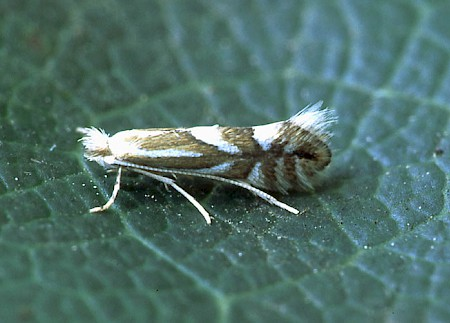 Nut Leaf Blister Moth Phyllonorycter coryli