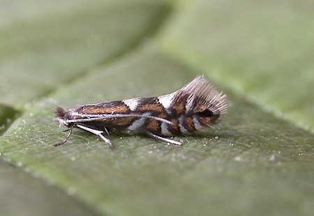 Phyllonorycter strigulatella