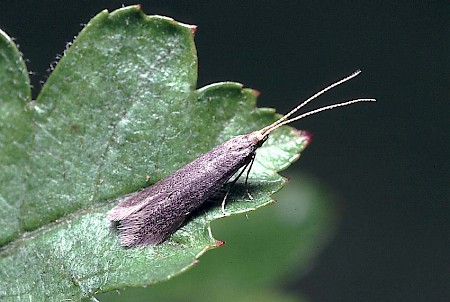 Apple & Plum Case-bearer Coleophora spinella