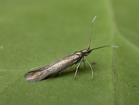 Clover Case-bearer Coleophora alcyonipennella